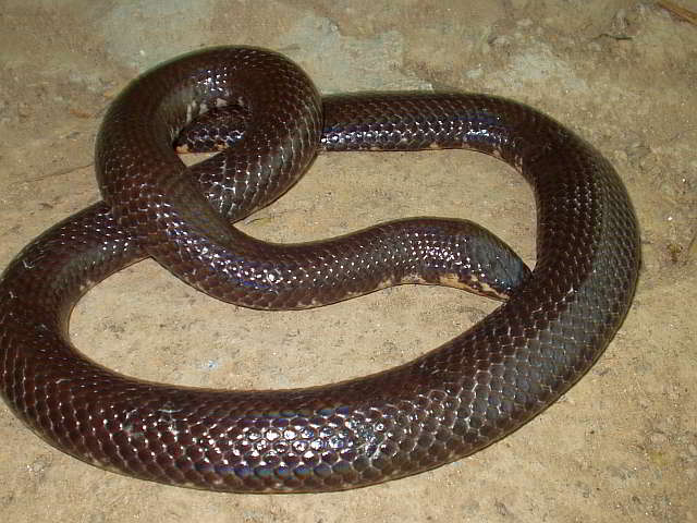 Cylindrophis ruffus ruffus (Red-tailed Pipe Snake)