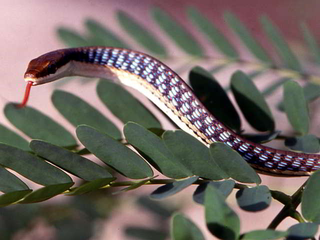 Dendrelaphis pictus (Common Bronzeback Snake)