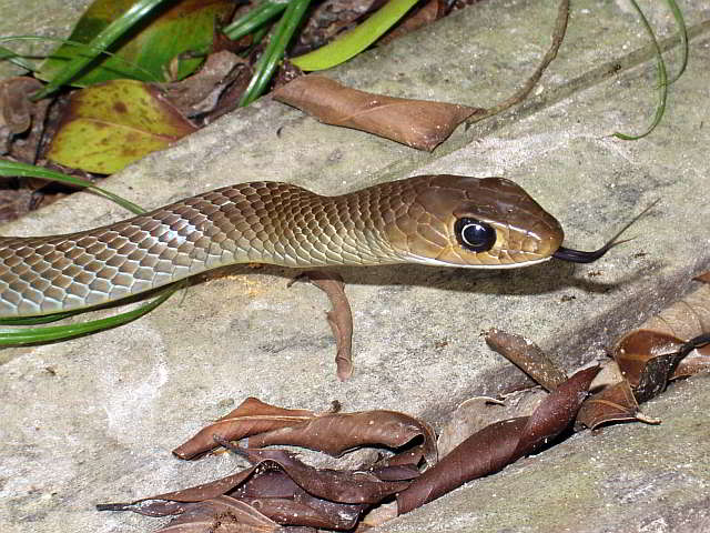 Common snakes of Thailand